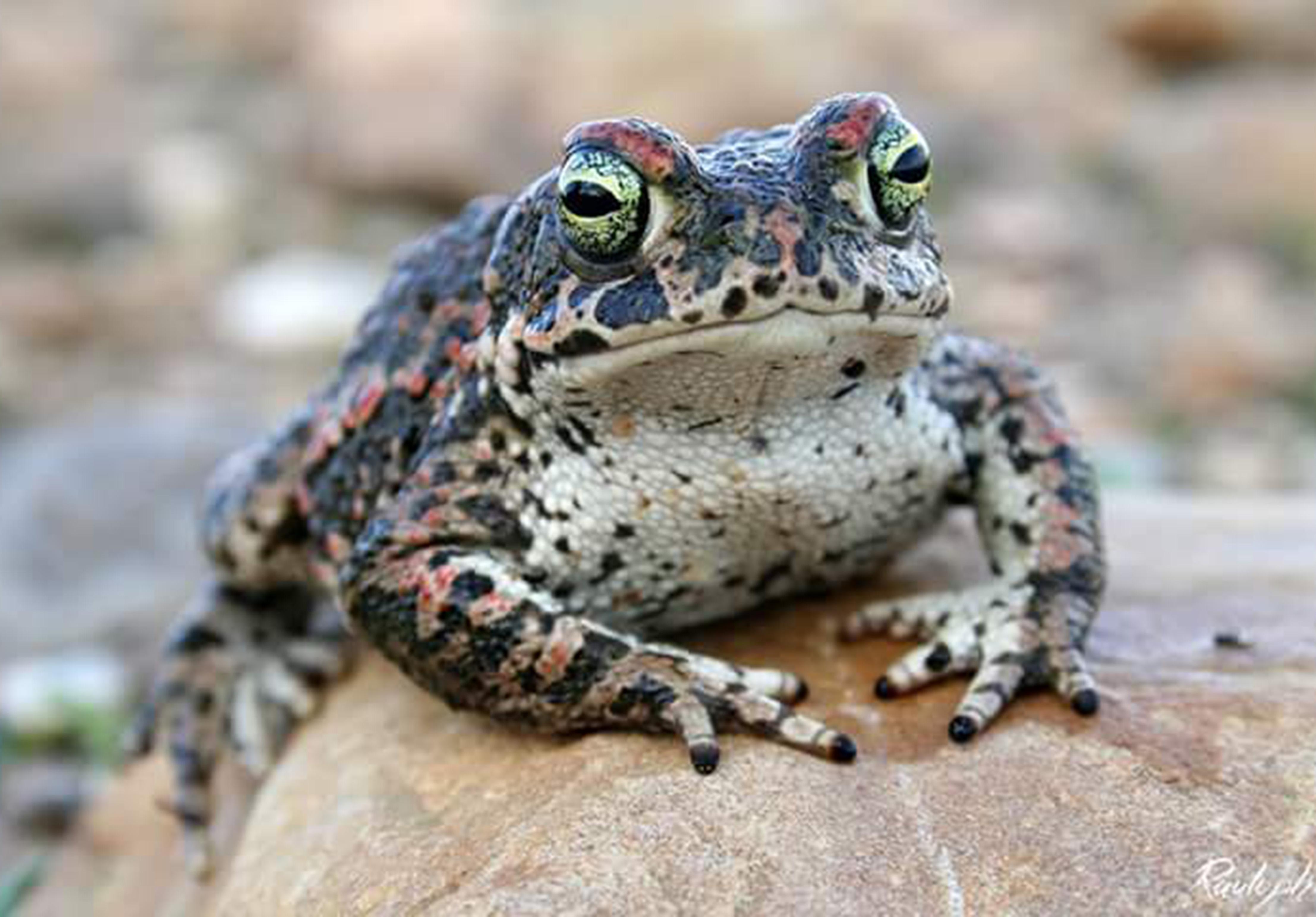 Descoberta origem de sapo que ameaça biodiversidade de Madagáscar - Wilder