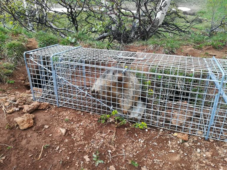 Marmota capturada