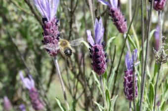 Las abejas silvestres, las grandes olvidadas